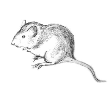 Мышка -рисунок карандашом
