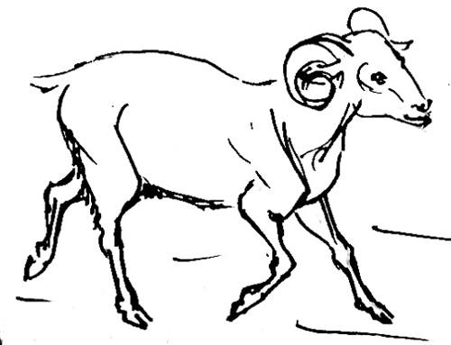 Рисунок Баран