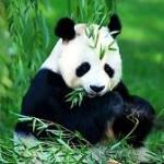 Фото панды
