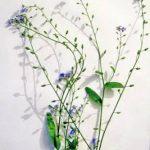 Как нарисовать цветок незабудку поэтапно