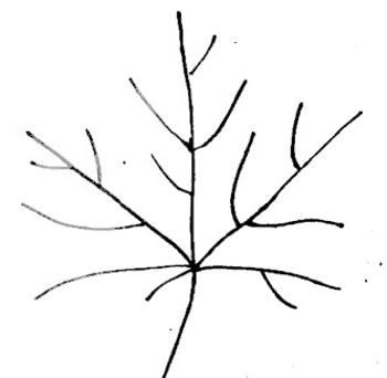 Жилки листа  клёна
