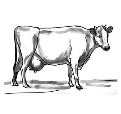 Рисунок Корова 13