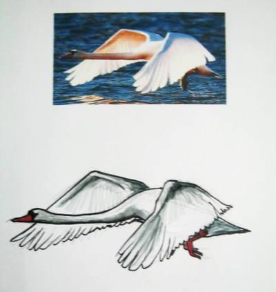 Нарисуем лебедя в полёте