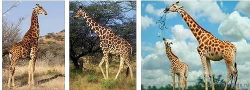 Фотографии жирафов