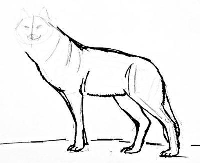 Урок поэтапного рисования волка