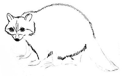 Рисуем туловище и мордочку енота