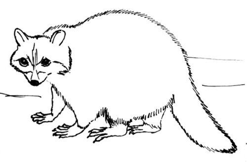 Рисунок - енот