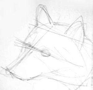 Рисуем голову енота