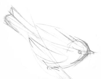 Синица -набросок карандашом