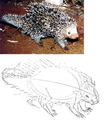 Как нарисовать древесного дикобраза