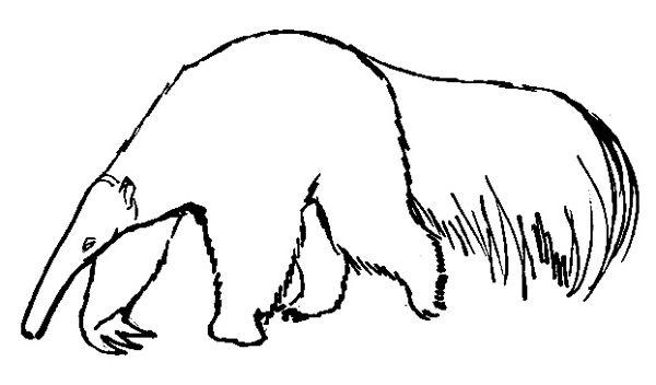Рисунок -раскраска Муравьед