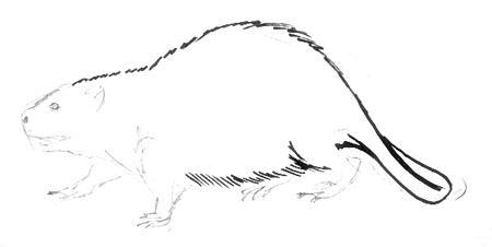 Рисунок бобр
