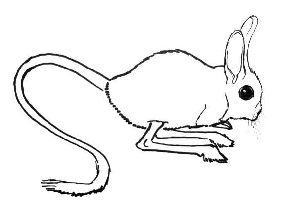 Тушканчик -рисунок 1