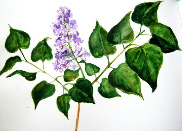 Цветы сирени -рисунок акварелью.