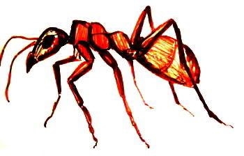 Рыжий муравей рисунок