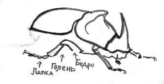 Строение лап жука