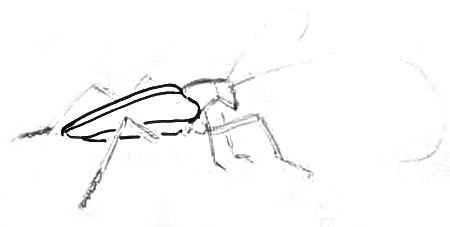 Нарисуем жука-усача