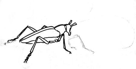 Нарисуем жука-скрипуна