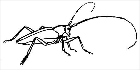 Раскраска жук-усач