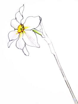 Нарцисс рисунок