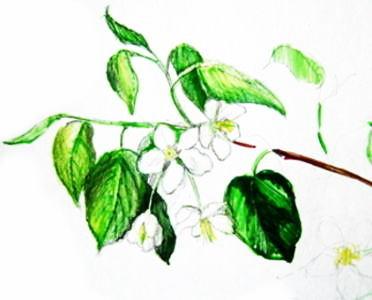 Рисуем цветы яблони