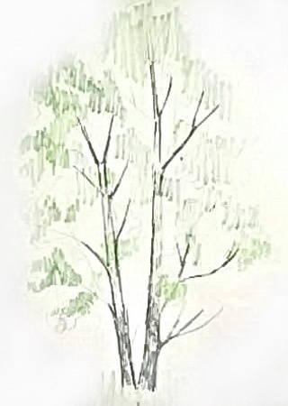 Рисунок тополь