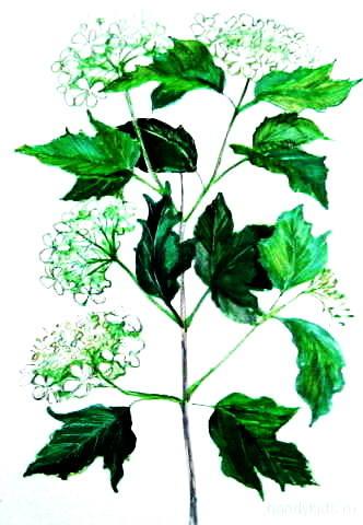 Ветка калины с цветами -рисунок