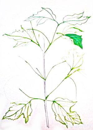 Рисуем цветущую ветку калины