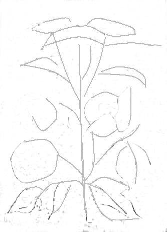 Рисунок калина