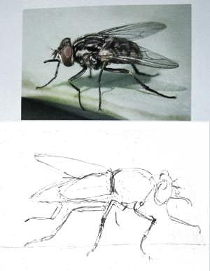 Как нарисовать муху-2