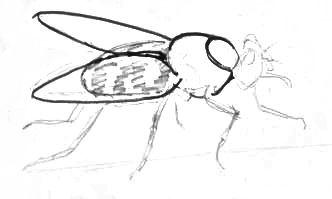 Поэтапный рисунок мухи