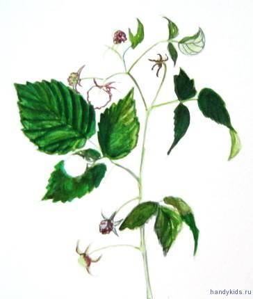 Поэтапный рисунок ветки малины