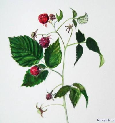 Ветка малины рисунок