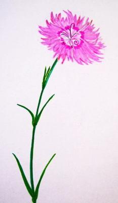 Гвоздика  травянка-рисунок с натуры