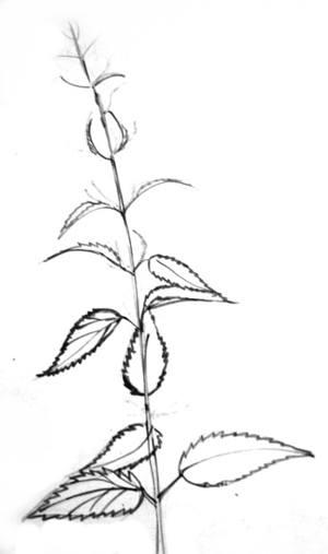 Крапива -рисунок карандашом