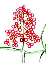 Рисуем ягоды бузины поэтапно