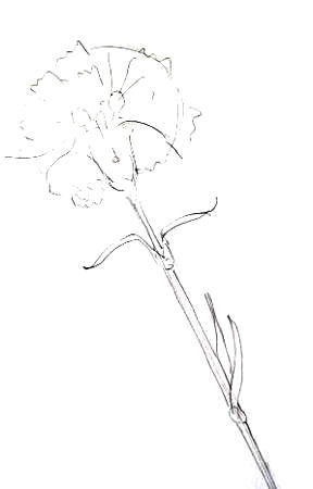 Гвоздика рисунок карандашом