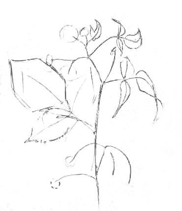 Малина -рисунок карандашом