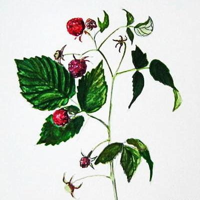 Рисунок малина с натуры