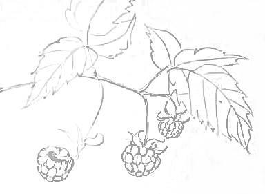 Рисунок -ягоды малины