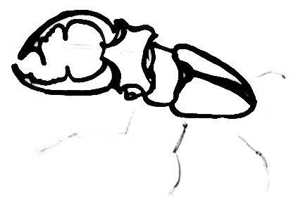 Нарисуем жука-оленя
