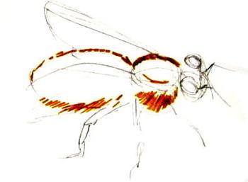 Нарисуем пчелу -3