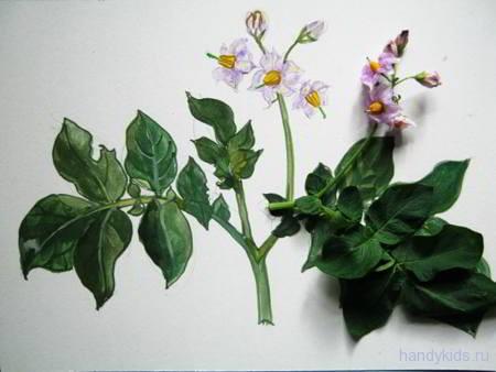 Цветок и рисунок картошки