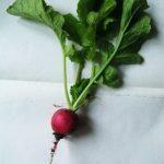 Как нарисовать овощи — редиску и свёклу