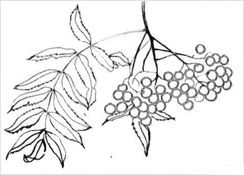 Рисунок - гроздь рябины