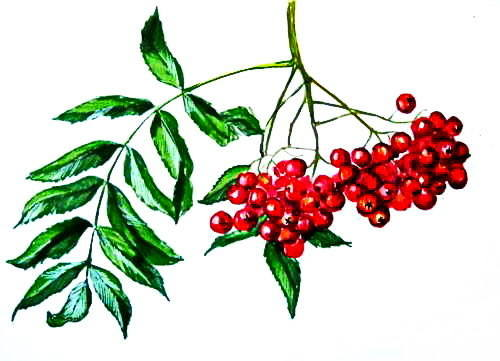 Рисунок ягоды рябины-015