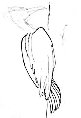 Рисуем острохохлого дятла