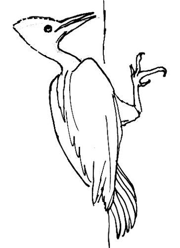 Королевский(американский) дятел раскраска