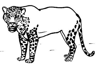Особенности  расцветки ягуара