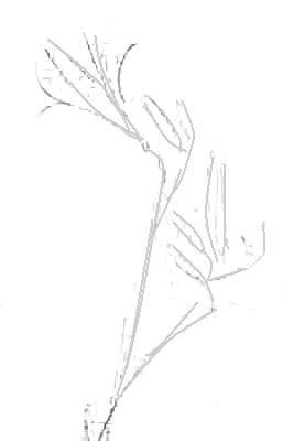 Рисуем лилию